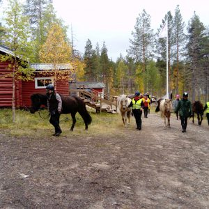 Once the lumberjacks had carthorses assisting their hard job. Today Rönölä welcomes visitors moving around by horse powers